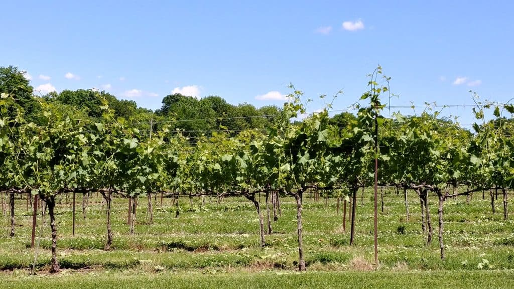Arrington Vineyards - Learn more great tips at Me and My Traveling Hat